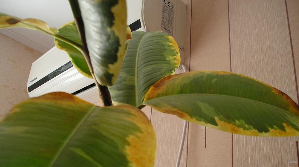 Выращивание фикуса опадают листья 571