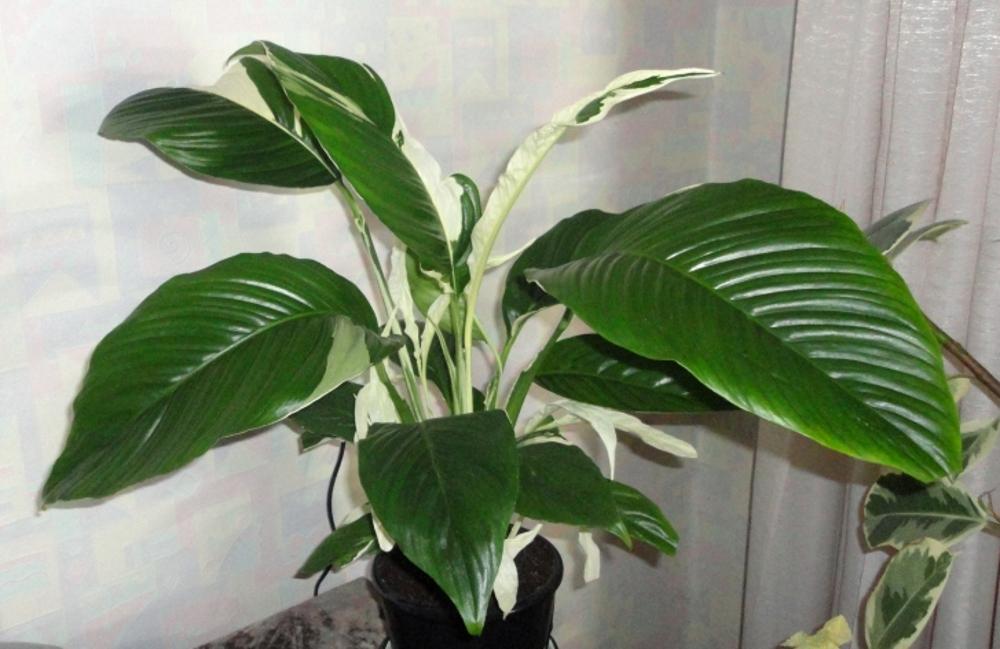 Мучнистый червец на комнатных растениях. Фото, как бороться 42
