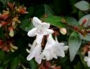 Цветки абелии