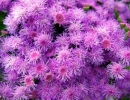 Агератум. Пурпурные поля (Purplefields)
