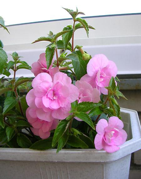 руках ахименесы розовые махровые фото для одного