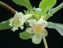Альсобия чиапас (Alsobia Chiapas)