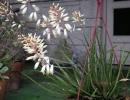 Aloe albiflora Guillaumin