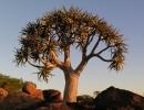 Aloe dichotoma Masson (Алоэ дихотомическое)