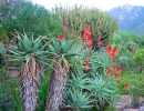Aloe ferox (Устрашающее алоэ)
