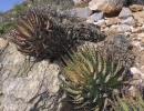 Aloe melanacantha Berger (Алоэ черноколючковое)
