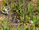 Aloe saponaria (Ait.) Haw — Алоэ мыльное.