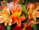 Альстромерия оранжевая