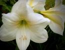 Амариллис белый