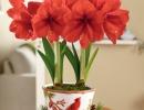 Амариллис красный