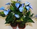 Антуриум синий