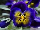 Цветок синих анютиных глазок