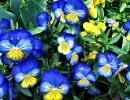 Синие и желтые анютины глазки