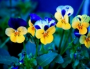Цветущие анютины глазки