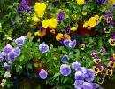 Анютины глазки в цветочных горшках