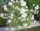Цветущий арабис