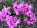Цветы арабиса