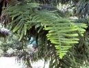Араукария колонновидная (Араукария Кука)