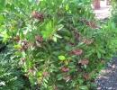 Ардизия низкая (Ardizia humilis)