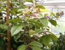 Ардизия соланцея (Ardizia solanacea)