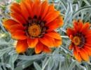 Растение Арктотис