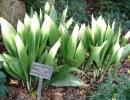 Аспидистра садовая