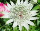 Цветок астранции