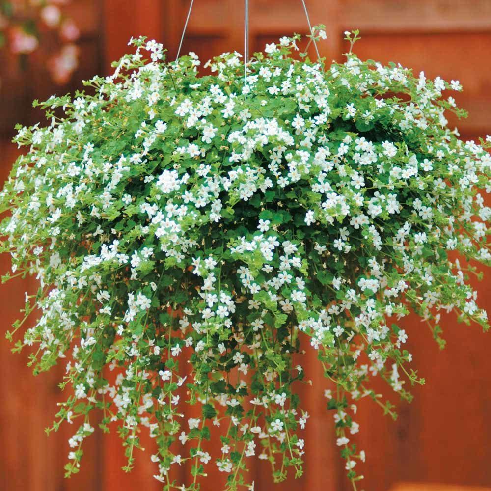ампельные комнатные растения фото с названиями первую очередь это