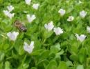 Пчелка на цвете бакопы