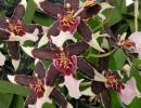 орхидея-беаллара