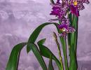 фото-очень-красиво-орхидея-беаллара