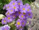 Цветы брахикомы