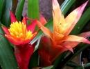 Бромелия фото растения