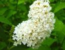 Буддлея белоцветкова
