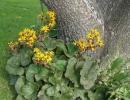 Бузульник около дерева