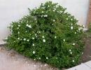 Кариса крупноцветковая (Carissagrandiflora