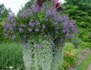 Дихондра с другими цветами