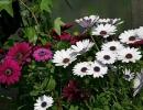 Фото. Цветок диморфотека