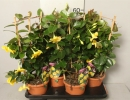 Дипладения комнатное растение