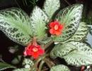Эписция медная (Episcia cupreata)