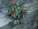Эписция ползучая (Episcia reptans)