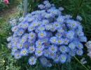Голубой эригерон