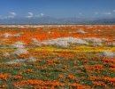 Эшшольция цвет поле