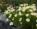 Эшшольция в саду