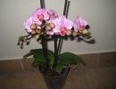 Фаленопсис Розовый дома