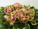 Фиалка Каменный цветок