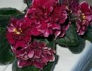 Фиалка Шанхайская роза