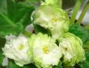 Фиалка Spring rose