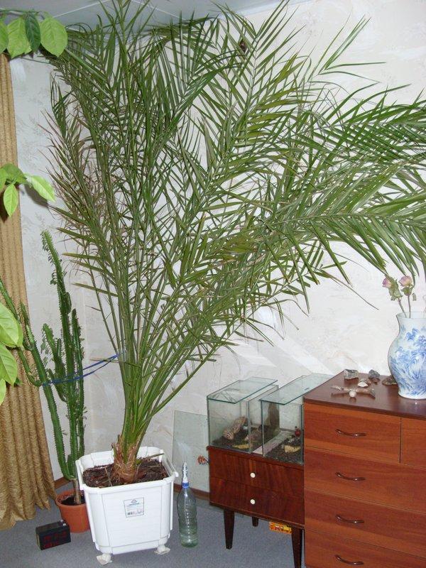 процессор финиковая пальма фото в домашних условиях многих