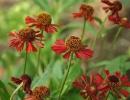 Гелениум цветы